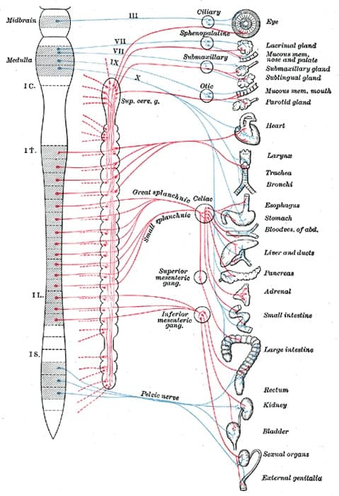 https://biologydictionary.net/autonomic-nervous-system/