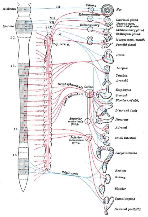 https://biologydictionary.net/autonomic-nervous-system/